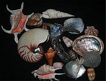 Shells of marine Mollusc1.jpg