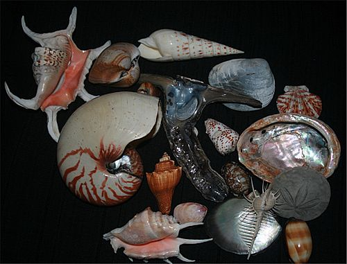 Shells of marine Mollusc1