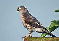 Shikra- Immature at Kolkata- I IMG 0540.jpg