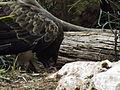 Short-toed Eagle 04.jpg