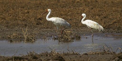 Siberian Crane - Keoladeo Ghana - India (1) (15546835731)