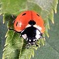 Siebenpunkt-Marienkäfer Coccinella septempunctata 2831.jpg