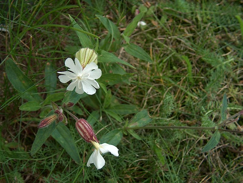 File:Silene latifolia Valkoailakki - H9544 C.jpg