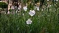 Silene latifolia in Yerevan 02.jpg