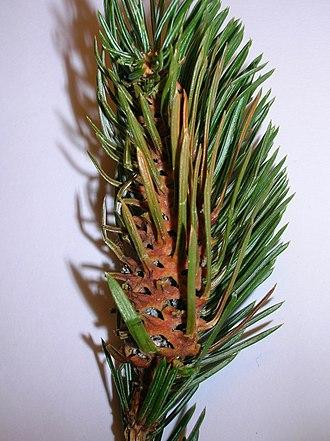 Pineapple gall adelgid - Pseudocone on Sitka Spruce.