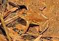 Skittering Frog Euphlyctis cyanophlyctis by Dr. Raju Kasambe DSCN0020 (7).jpg