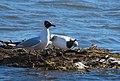 Skrattmås Black-headed Gull (20163165850).jpg