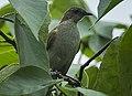 Slender-billed Greenbul - Ghana S4E3142 (17050561522) (cropped).jpg