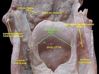 Aryepiglottic fold - Image: Slide 5sss