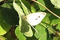 Small white (Vys) (11193375145).jpg