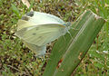 Small white mating 05-29.jpg