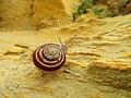 Snail in Gozo -1.jpg