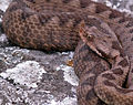 Snake cr 900p.jpg