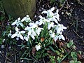Snowdrops and Snails - geograph.org.uk - 681901.jpg