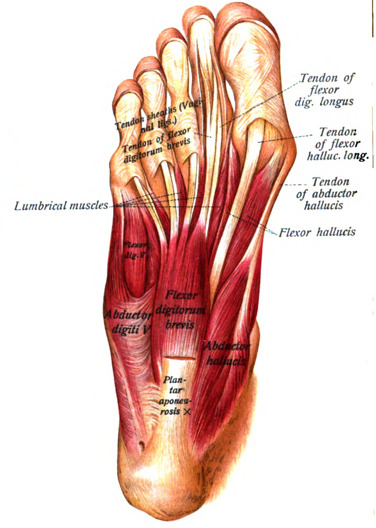 Abductor Hallucis Muscle Wikipedia