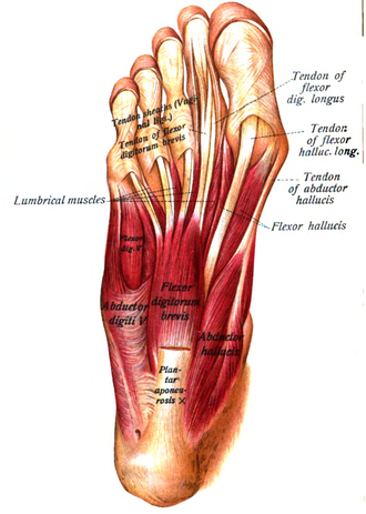 Abductor hallucis muscle - First layer of muscles of the sole of the foot (abductor hallucis visible at lower right)