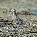 Sociable Lapwing (Vanellus gregarius) (16702598671).jpg