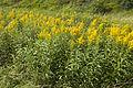 Solidago canadensis vallee-de-grace-amiens 80 21072007 3.jpg
