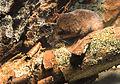 Sorex alpinus.jpg