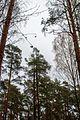 Sosnovka - panoramio (7).jpg