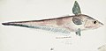 Southern Pacific fishes illustrations by F.E. Clarke 64.jpg