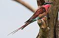 Southern carmine bee-eater, Merops nubicoides, Savuti marsh, Chobe National Park, Botswana (32421989116).jpg