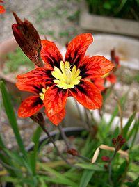 Sparaxis tricolor1