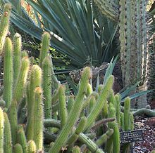 Specimen of Borzicactus(Cleistocactus) samaipatanus at the Huntington Botanical Desert Garden.jpg