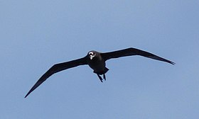 Spectacled Petrel 03 (3450429604).jpg