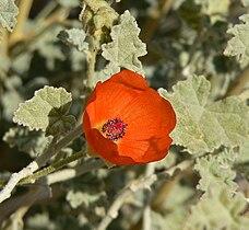 Sphaeralcea ambigua 9.jpg