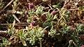 Sphaeranthus indicus 1.jpg