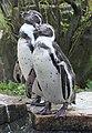 Spheniscus humboldti (6337848370).jpg