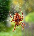 Spider Araneus diadematus.jpg