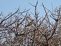 Spinus barbata (Black-chinned Siskin) (48338219751).jpg