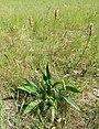 Spitzwegerich (Plantago lanceolata).jpg