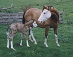 Splash White Mare and Foal.jpg