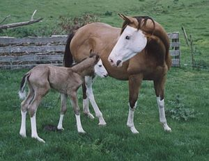 Splashed white - Splashed white mare and foal with mask-like white faces, blue eyes, and dark-colored spots on their lips.