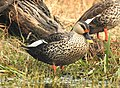 Spot-billed Duck Anas poecilorhynchamale by Dr. Raju Kasambe DSCN2834 (20).jpg