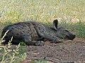 Spotted Hyaena (Crocuta crocuta) (6896275650).jpg