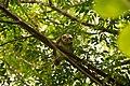 Spotted Owlet in Punjab.jpg