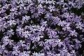Spring-purple-creepingflox-flowers - West Virginia - ForestWander.jpg