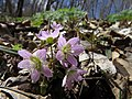 Spring Beauty (14129349722).jpg