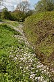 Spring flowers line a ditch adjoining Hasfield Ham - geograph.org.uk - 775333.jpg