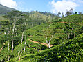 Sri Lanka-Province du Centre-Plantations de thé (5).jpg