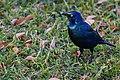 Starling (28099045545).jpg