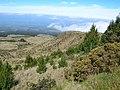 Starr-041211-1480-Pinus patula-spreading-Puu Nianiau-Maui (24353192919).jpg