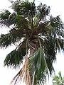 Starr-050407-6257-Pritchardia sp-habit-Maui Nui Botanical Garden-Maui (24718800456).jpg