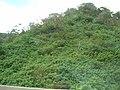 Starr-050420-6606-Cordyline fruticosa-habitat-H3-Oahu (24720456136).jpg