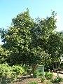 Starr-061106-9598-Hibiscus tiliaceus-habit-Maui Nui Botanical Garden-Maui (24842130946).jpg