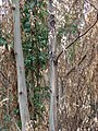 Starr-070908-9254-Eucalyptus globulus-rebounding after fire-Polipoli-Maui (24892873715).jpg